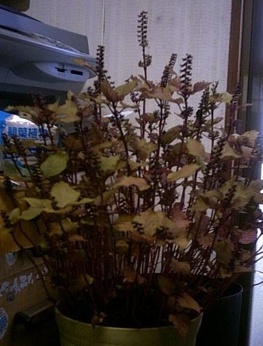 赤紫蘇の花