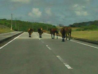 道をふさぐ与那国馬